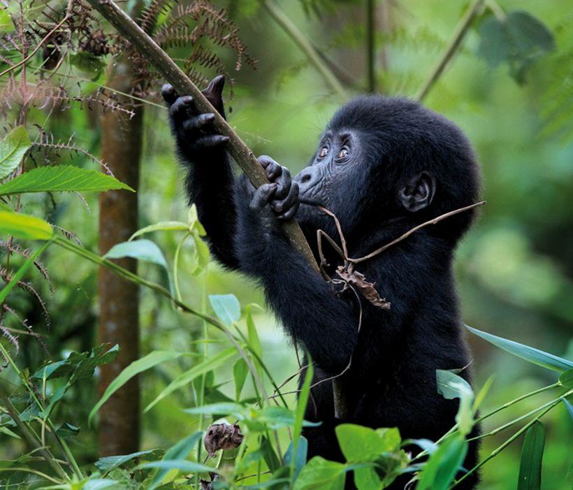 gorilla-di-montagna